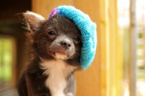 Chihuahua puppy wearing knitted hat — Stock Photo