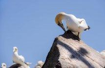 Gannet de pé sobre rocha — Fotografia de Stock