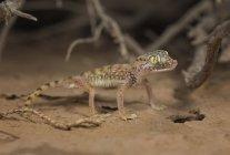 Gecko à doigts courts — Photo de stock