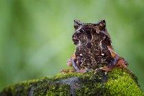 Hornet frog sitting on rock — Stock Photo