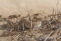 Retrato de una víbora de arena Árabe - foto de stock
