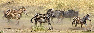 GNU e zebre che funziona nel campo — Foto stock