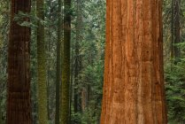 Giant sequoia trees in forest — Stock Photo