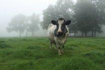 Pie de vaca en el campo en niebla, Azelo, Overijssel, Holanda - foto de stock