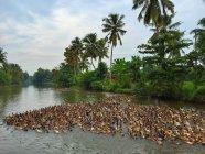 Ферма утки в реке среди пальм — стоковое фото