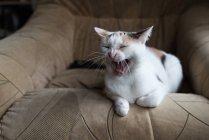Кошка зевает на кресле — стоковое фото
