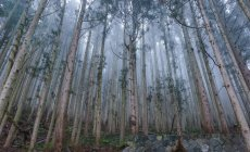 Cedar forest in mist — Stock Photo