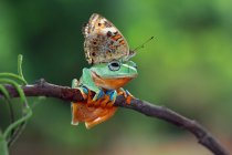 Butterfly sitting on dumpy tree frog — Stock Photo