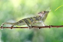 Chameleon eating an insect — Stock Photo