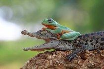 Rainette, assis sur le crocodile — Photo de stock