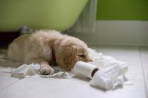 Golden retriever playing with toilet roll — Stock Photo