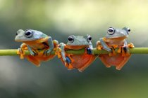 Three frogs on tree branch — Stock Photo