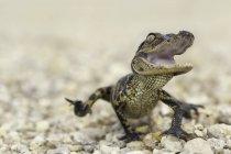 Cucciolo di alligatore americano — Foto stock