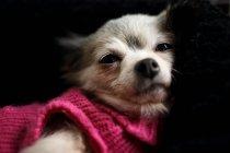 Chihuahua dog wearing pink sweater — Stock Photo