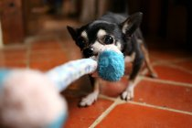 Giocattolo chihuahua cane tirando corda — Foto stock