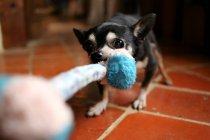 Чихуахуа-собака тянет веревку — стоковое фото