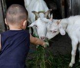 Хлопчик годування двох козлів — стокове фото