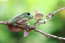 Rana en rama mirando mariposa - foto de stock