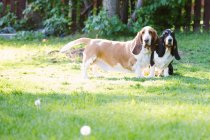 Дві собаки Бассета в саду — стокове фото