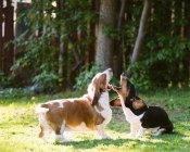 Дві собаки Бассета, граючи в саду — стокове фото
