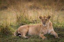 Lionne couchée dans le champ — Photo de stock