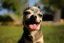 Portrait of a Chihuahua dog standing outdoors — Stock Photo