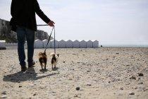 Mann zu Fuß Chihuahua Hunde — Stockfoto
