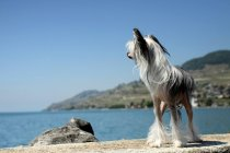 Chinese Crested Dog tatenlos See — Stockfoto