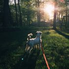 Dog on leash in forest — Stock Photo
