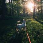 Собак на повідку у лісі — стокове фото