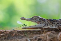 Demoiselle de la bouche de crocodile — Photo de stock