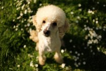 Portrait of poodle dog sitting on grass — Stock Photo