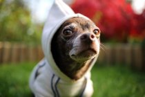 Chihuahua Hundepullover tragen — Stockfoto
