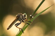 Robberfly on green plant, Jember, East Java, Indonesia — Stock Photo