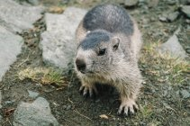 Close-up view of wild beaver standing and looking at camera — Stock Photo