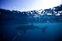 Majestic whale shark swimming in blue sea — Stock Photo
