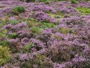 Scenic view of fresh heather heathland — Stock Photo