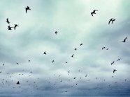 Vista panoramica di stormo di uccelli in volo al cielo — Foto stock