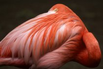 Close-up Portrait of beautiful pink flamingo looking at camera — Stock Photo