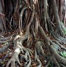 Vista panoramica delle radici dell'albero, primo piano — Foto stock