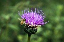 Primer plano de una abeja sobre una flor sobre un fondo borroso - foto de stock