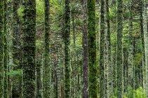 Vista panorámica de bosque verde con árboles cubiertos de musgo - foto de stock