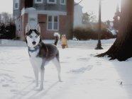 Husky Dog auf Wache auf Schnee, USA, Delaware, New Castle County, Wilmington — Stockfoto