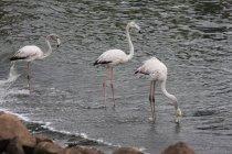 Three Beautiful Flamingos walking in water, Namibia — Stock Photo