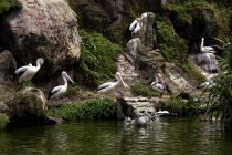 Flock of pelicans sitting near water at wild nature — Stock Photo