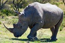 Vue panoramique du rhinocéros africain à la nature sauvage — Photo de stock