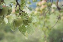 Закри Яблуня в саду — стокове фото