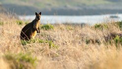Wallaby standing in grass at sunset, Summerlands, Victoria, Australia — Stock Photo