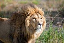 Nahaufnahme der schönen wilden afrikanischen Löwen, Limpopo, Eastern Cape, Südafrika — Stockfoto