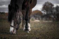 Mirador del caballo de pastoreo en pasto - foto de stock